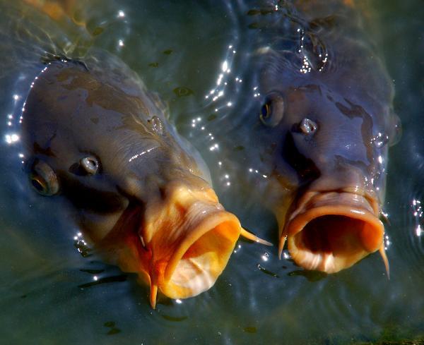maxalae koi fish le - photo #48