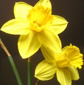 Narcissus – Narcis