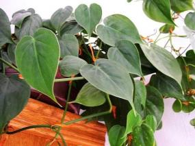 Philodendron (filodendron)